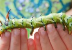 Regal Moth Caterpillar  (Citheronia regalis), also called the royal walnut moth walking along a kid's fingertips.  Selective focus on the caterpillar's head.